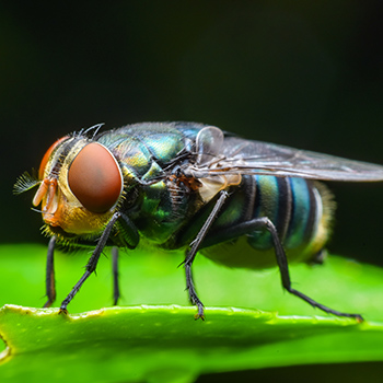 Pest Control Experts of Chicago - Chicago's Flies Pest Control